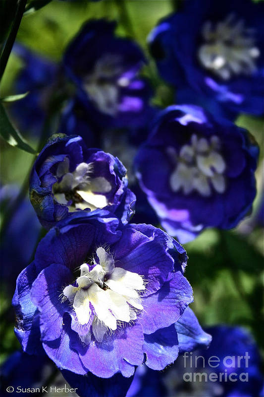 Garden Art Print featuring the photograph Blue Blossoms by Susan Herber