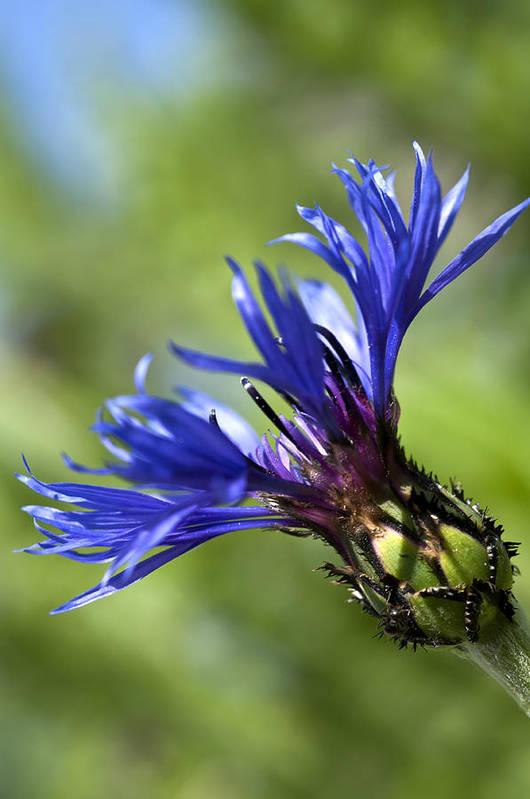 Cornflower Bud Art Print featuring the photograph Blue Cornflower by Steve Purnell