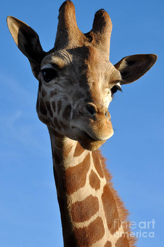 Giraffe Art Print featuring the photograph Blue Sky Giraffe by Anjanette Douglas