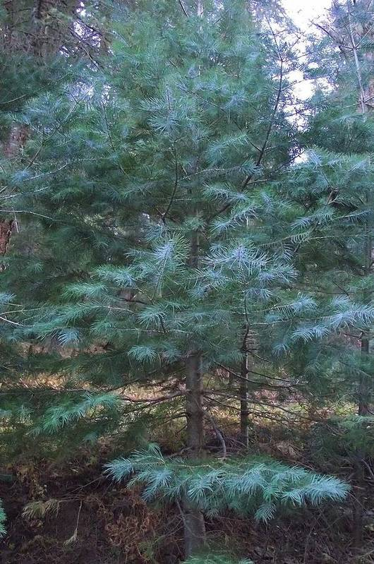 Tree Art Print featuring the photograph Blue Spruce by Jayne Kerr