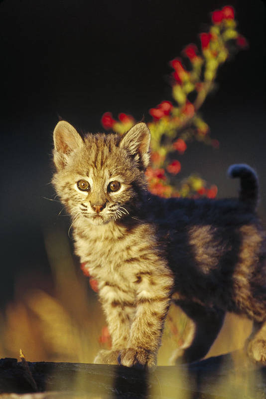 00173214 Art Print featuring the photograph Bobcat Kitten Standing On Log North by Tim Fitzharris