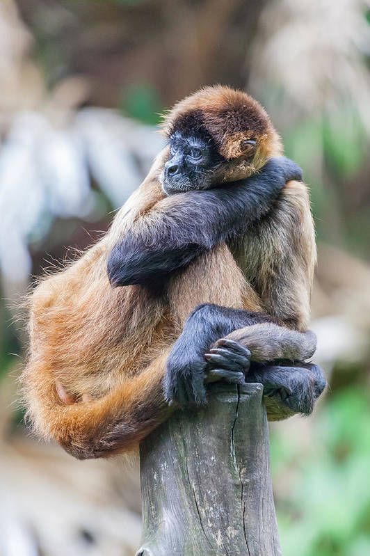 Spider Monkey Art Print featuring the photograph bored Spider Monkey by Craig Lapsley