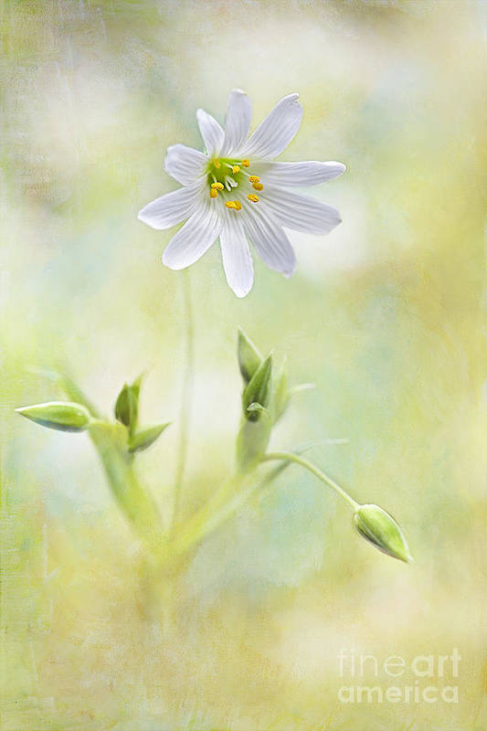 Greater Stitchwort Art Print featuring the photograph Bring Me Sunshine by Jacky Parker