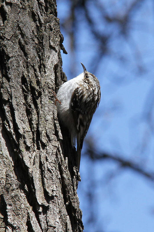 Brown Creeper Art Print featuring the photograph Brown Creeper by Doris Potter