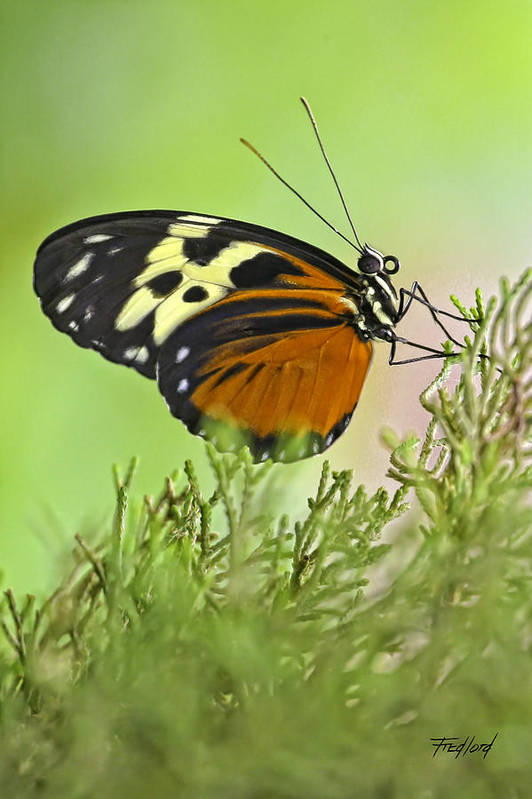 Butterfly Art Print featuring the photograph Brown Is Beautiful by Fred J Lord