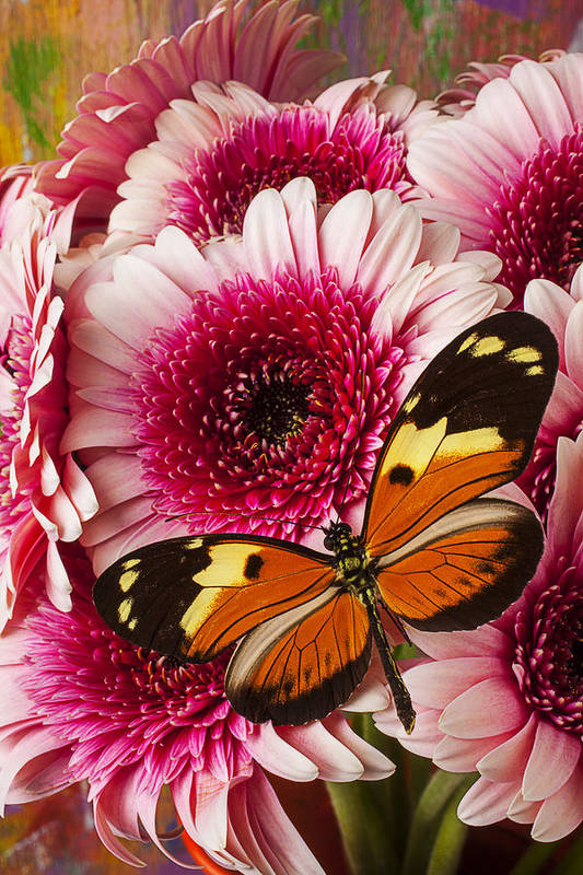 Butterfly Eduador Pichincha Tinalandia Art Print featuring the photograph Butterfly On Pink Mum by Garry Gay