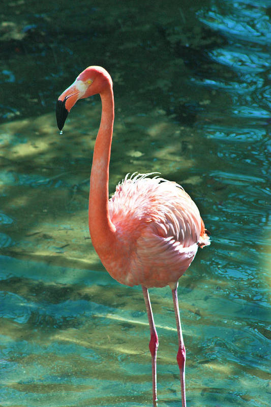 Flamingo Art Print featuring the photograph Caribbean Flamingo 2 by Luciano Comba