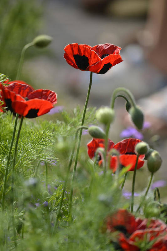 Dickon Art Print featuring the photograph Chelsea Poppies II by Dickon Thompson