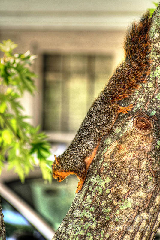 Fox Squirrel Photograph Art Print featuring the photograph Climbing Down by Ester Rogers