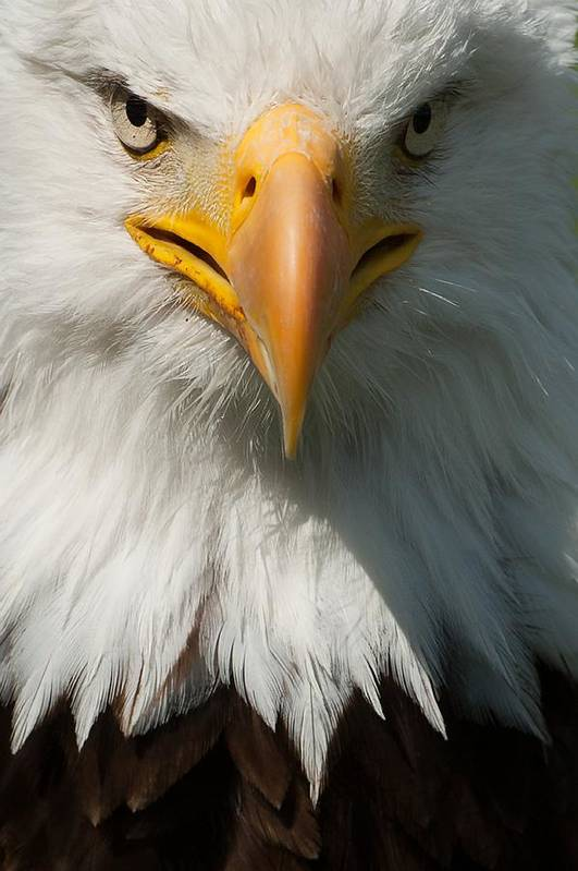 Vertical Art Print featuring the photograph Close Up Of Bald Eagle by Lynn Koenig