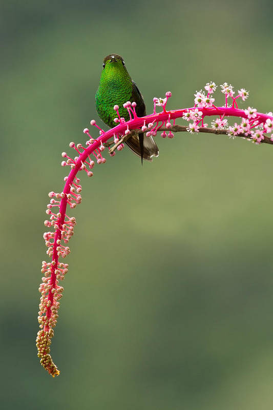 Vertical Art Print featuring the photograph Coppery-headed Emerald by Christopher Jimenez Nature Photo