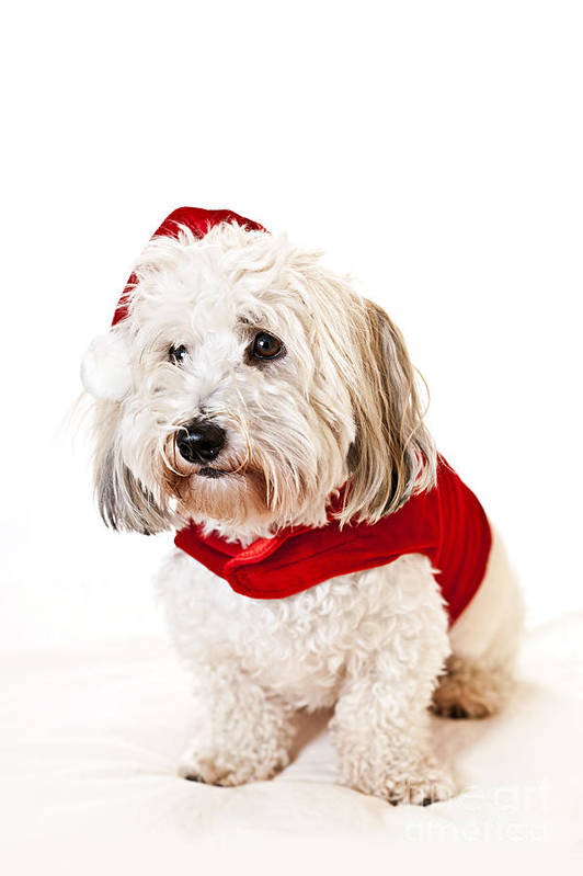 Dog Art Print featuring the photograph Cute Dog In Santa Outfit by Elena Elisseeva