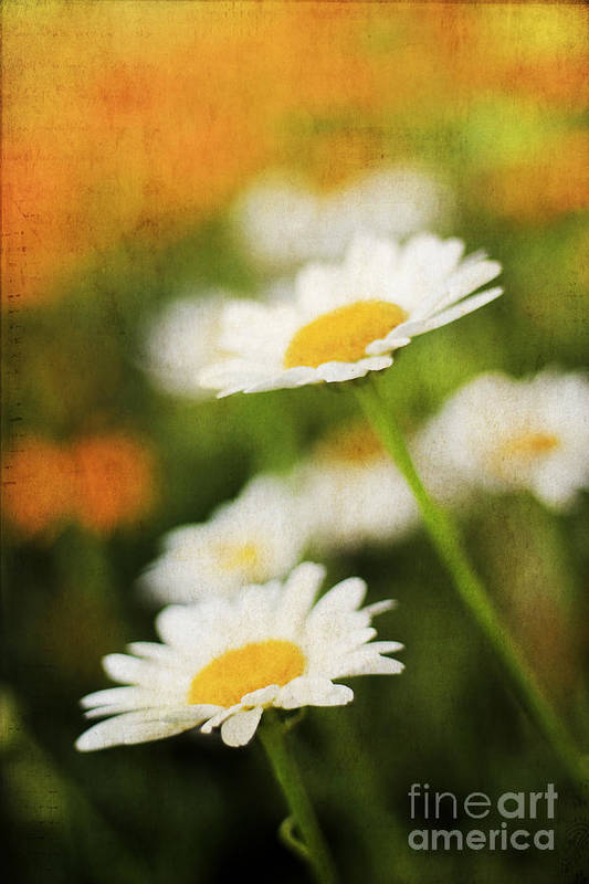 Angel Art Print featuring the photograph Daisies by Darren Fisher