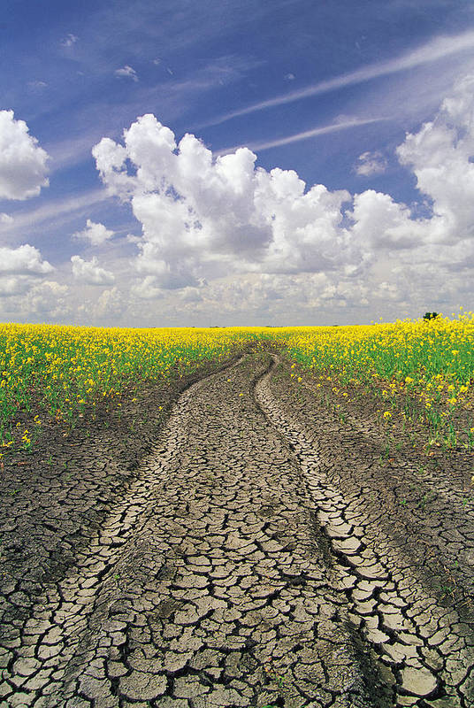 Canola Field Art Print featuring the photograph Dried Up Machinery Tracks by Dave Reede