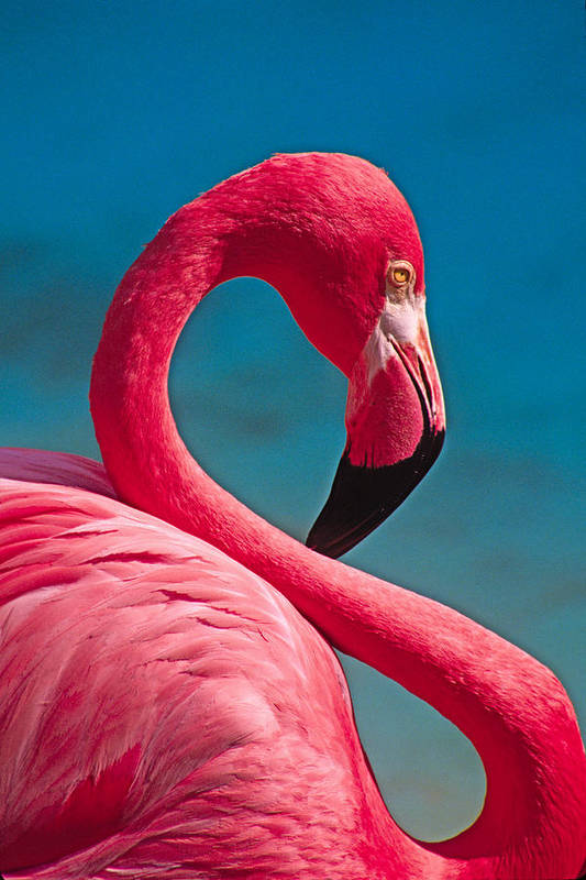 Flamingo Art Print featuring the photograph Flexible Flamingo by Michele Burgess