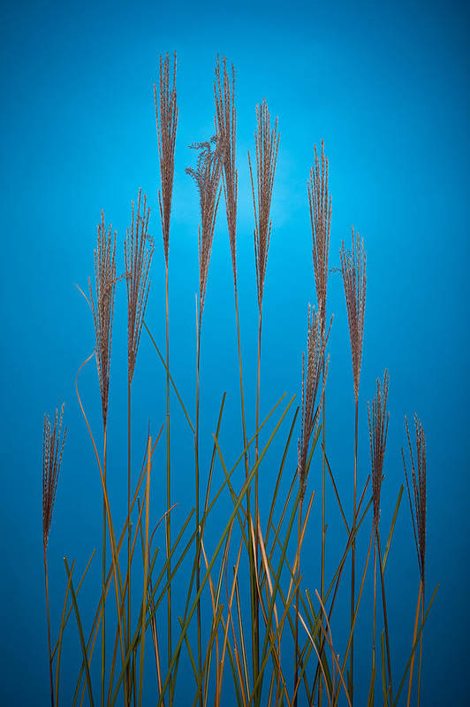Studio Art Print featuring the photograph Fountain Grass In Blue by Steve Gadomski