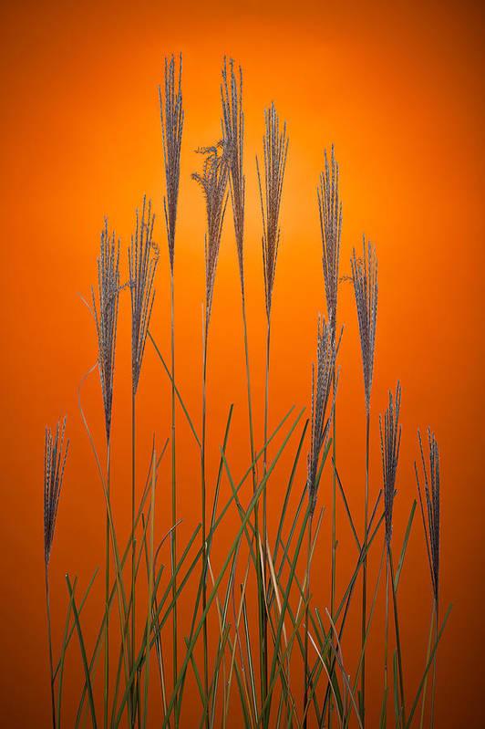 Grass Art Print featuring the photograph Fountain Grass In Orange by Steve Gadomski