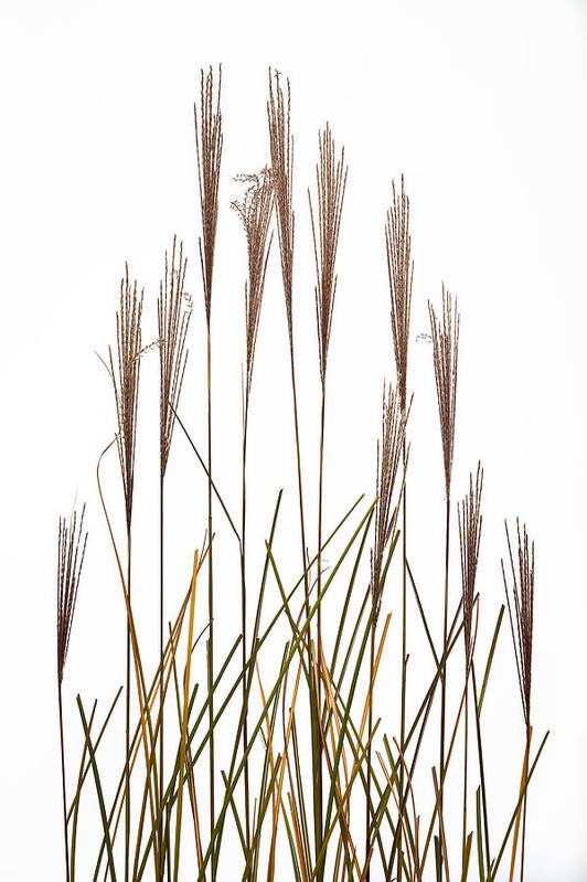 Studio Art Print featuring the photograph Fountain Grass In White by Steve Gadomski