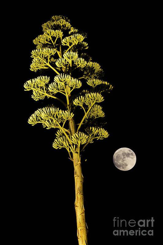 Agave Art Print featuring the photograph Full Moon by Juan Silva