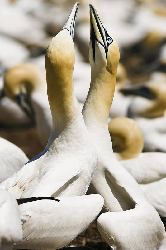Animals In The Wild Print featuring the photograph Gannets, Parc National De by Yves Marcoux