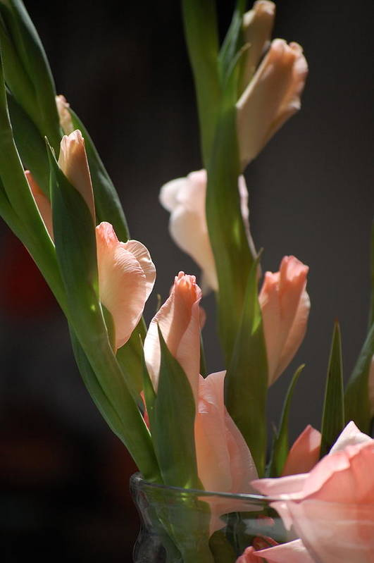 Dickon Art Print featuring the photograph Gladiolus II by Dickon Thompson
