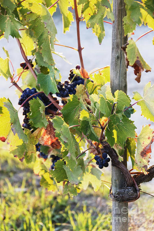 Agriculture Art Print featuring the photograph Grapes On Vine by Jeremy Woodhouse