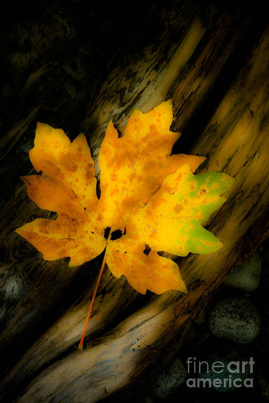 Maple Leaf Art Print featuring the photograph Green And Yellow Maple Leaf In Soft Focus Rests On A Log. by Emilio Lovisa