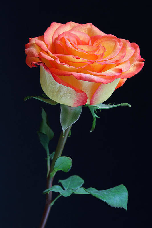 Rose Art Print featuring the photograph Heartwarming by Juergen Roth