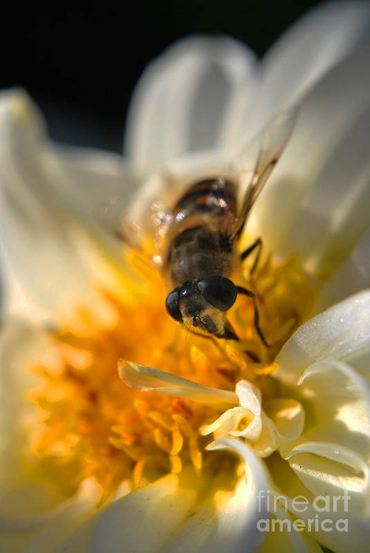 Yhun Suarez Art Print featuring the photograph Hoverfly On White Flower by Yhun Suarez