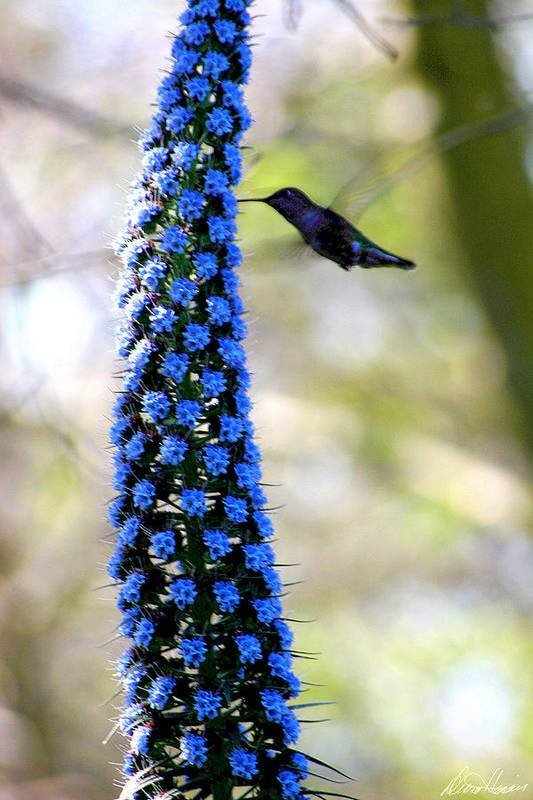 Hummingbird Art Print featuring the photograph Hummingbird And Flower by Diana Haronis