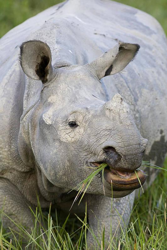 00451346 Art Print featuring the photograph Indian Rhinoceros Grazing Kaziranga by Suzi Eszterhas