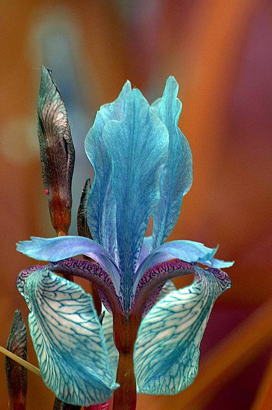 Iris Art Print featuring the photograph Iris by Kathryn Young