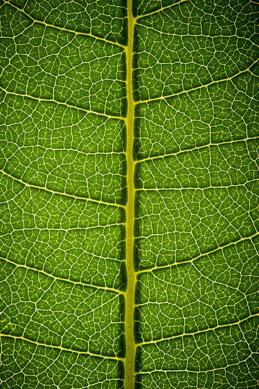 Gadomski Art Print featuring the photograph Milkweed Leaf by Steve Gadomski