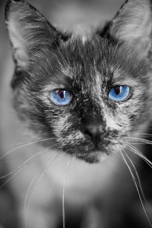 Siamese Art Print featuring the photograph Miss Nermal by Kittysolo Photography