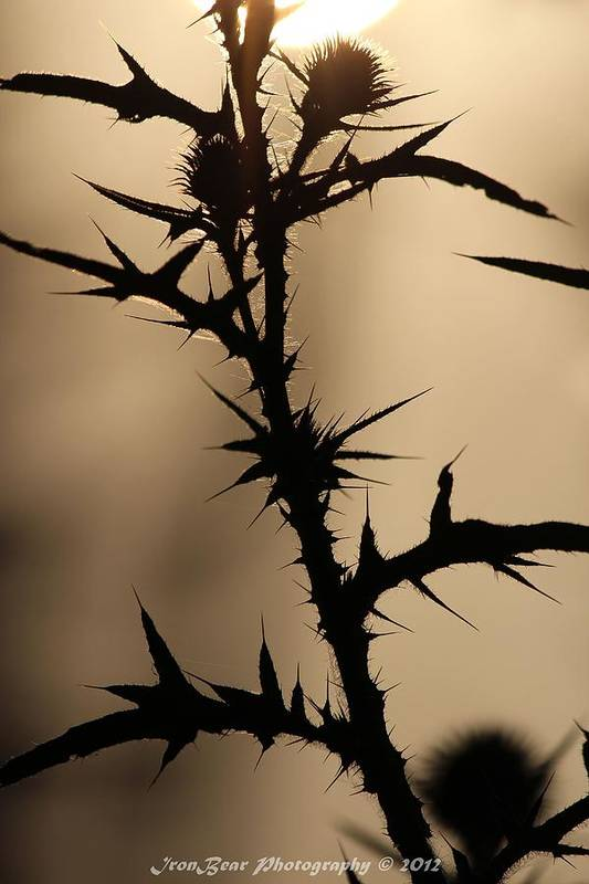 Wild Foliage Thistle Thorns Art Print featuring the photograph Morning Thorns by Ted Albert