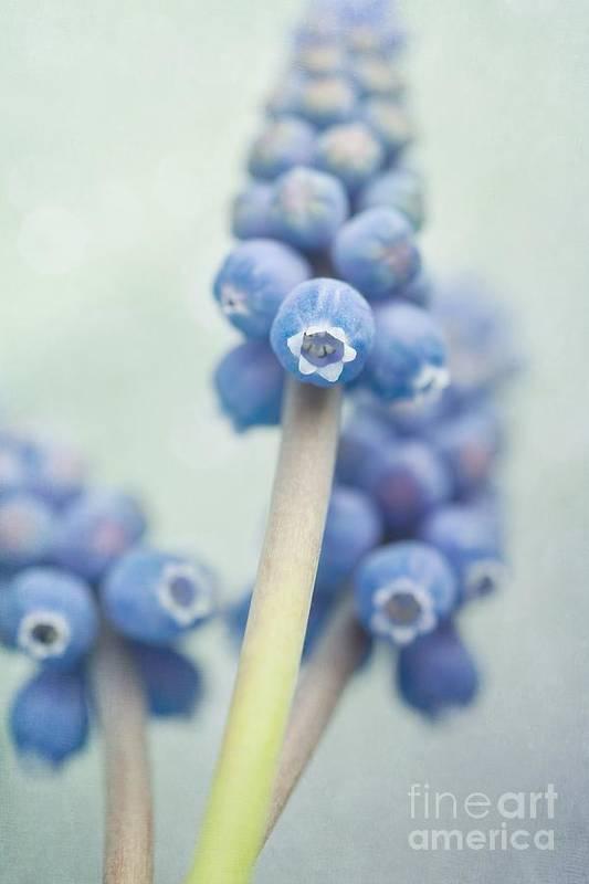 Grape Hyacinths Art Print featuring the photograph Muscari by Priska Wettstein