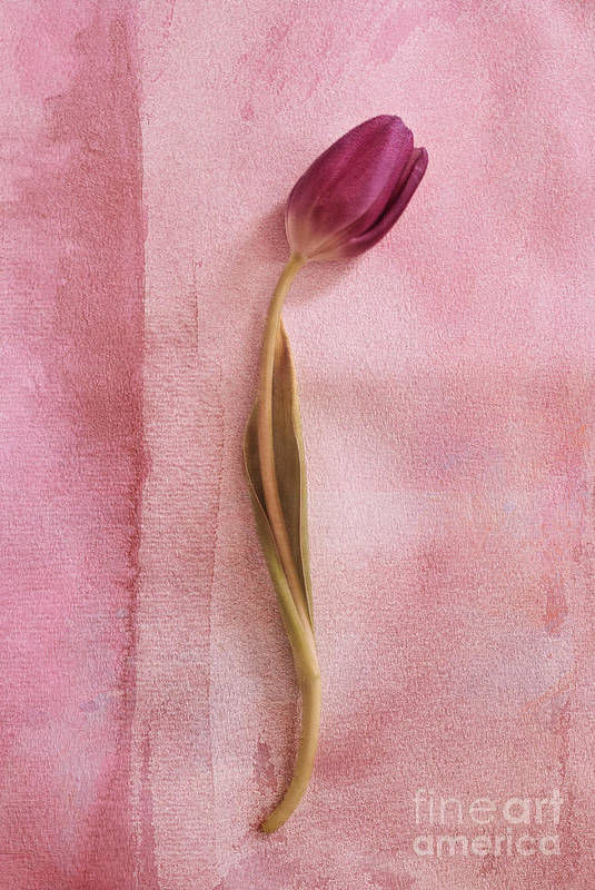 Tulip Art Print featuring the photograph One - S02cr2t02b by Variance Collections