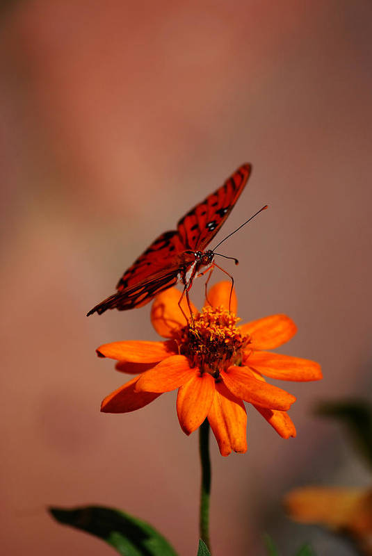 Butterfly Art Print featuring the photograph Orange Butterfly Orange Flower by Lori Tambakis
