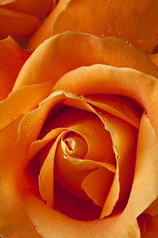 Orange Print featuring the photograph Orange Rose Close Up by Garry Gay