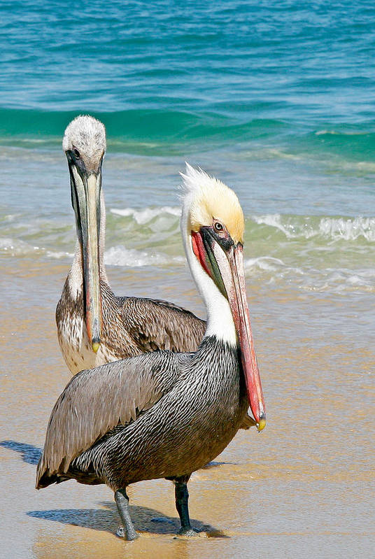 Animals Art Print featuring the photograph Pelican Pair by Jean Noren