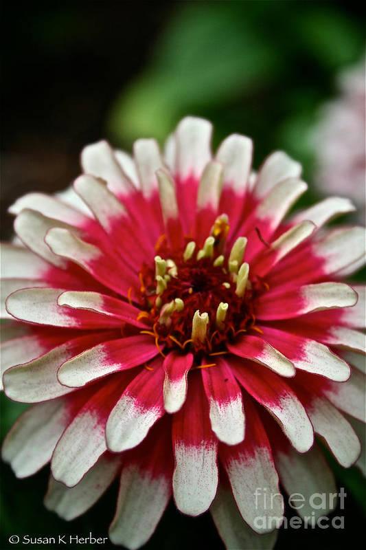 Garden Art Print featuring the photograph Peppermint Zinnia by Susan Herber