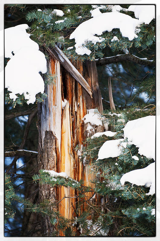 Pine Trees Art Print featuring the photograph Pine Bark by Lisa Spencer