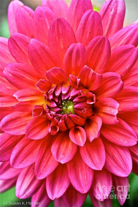 Garden Art Print featuring the photograph Pink Dahlia by Susan Herber
