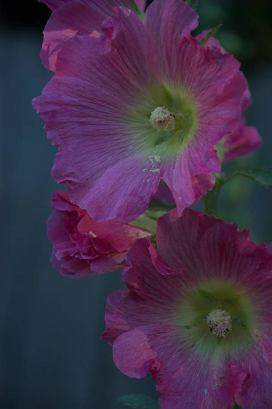 Flower Art Print featuring the photograph Piquant by Joseph Yarbrough