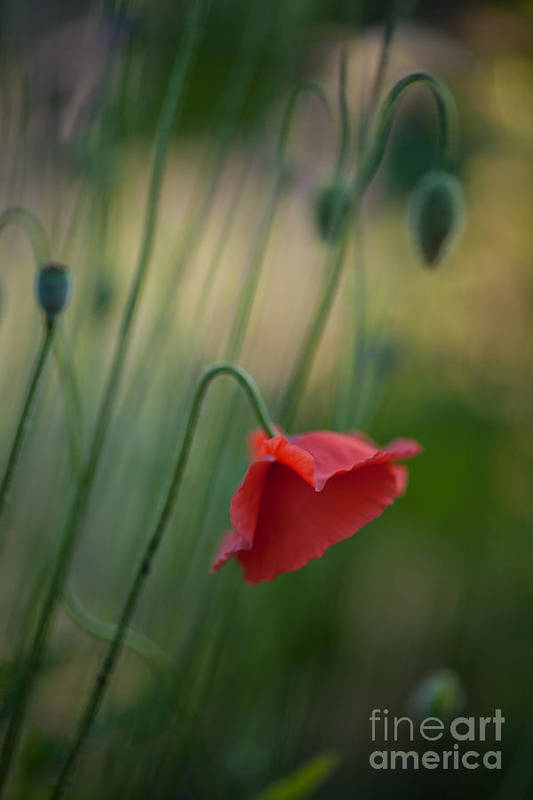 Flower Art Print featuring the photograph Poppies Mood by Mike Reid