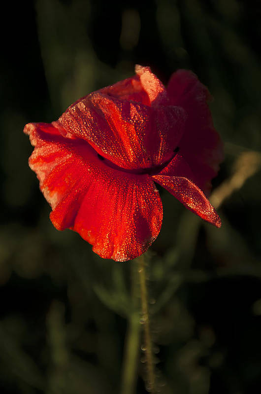 Flowres Art Print featuring the photograph Poppy by Svetlana Sewell