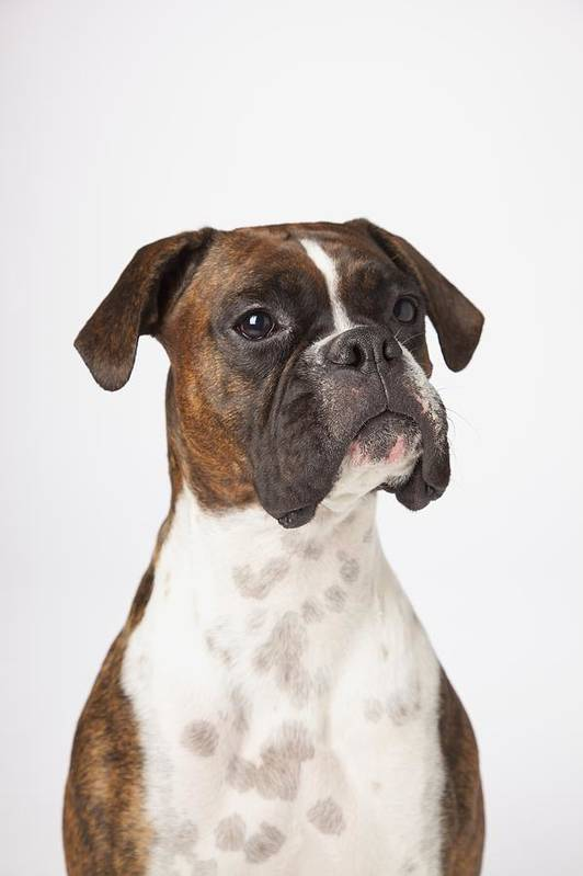Boxer Art Print featuring the photograph Portrait Of Boxer Dog On White by LJM Photo