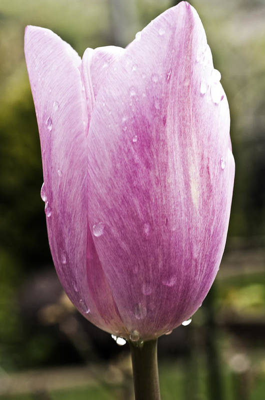 Pink Tulip Art Print featuring the photograph Pretty In Pink 7 by Steve Purnell