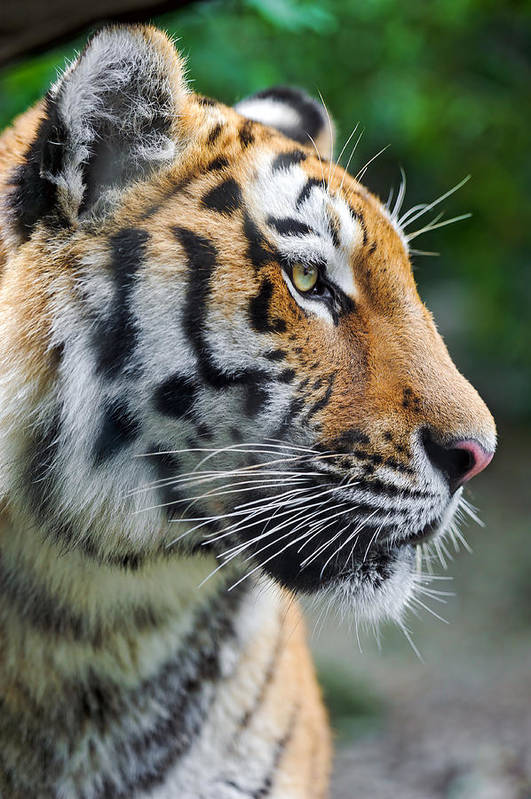 Vertical Art Print featuring the photograph Profile Of A Siberian Tiger by Picture by Tambako the Jaguar