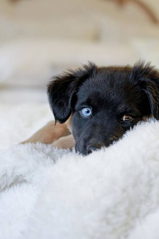 Vertical Art Print featuring the photograph Puppy Lying On Soft Blanket by Angela Auclair